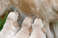 Cute Golden Retriever puppies nursing Royalty Free Stock Photography
