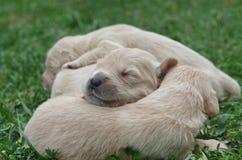Cute Golden retriever puppies sleeping. Sweet golden retriever puppies sleeping on the green grass Stock Photo