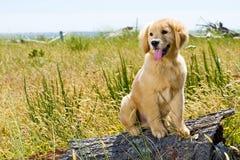 Cute golden retriever puppy Royalty Free Stock Photos