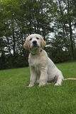 Cute Golden Retriever Puppy. Sitting in the grass. Please comment after download stock photos
