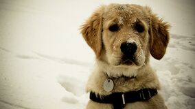 Cute Golden retriever puppy Stock Images