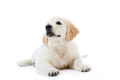 Cute golden retriever puppy lying Stock Images