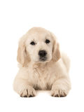 Cute golden retriever puppy lying down royalty free stock photos
