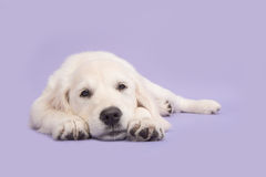 Cute golden retriever puppy lying on the floor with its head on Royalty Free Stock Photo