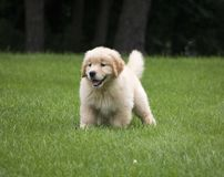 Cute Golden Retriever Puppy Playing In Grass royalty free stock image