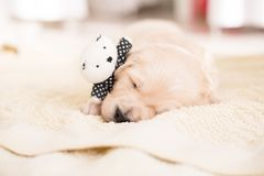 Cute golden retriever puppy sleeping with little teddy bear on the blanket. Portrait of Cute golden retriever puppy sleeping with little teddy bear on the stock photography