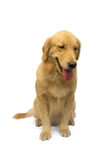 Cute Golden Retriever Royalty Free Stock Photography