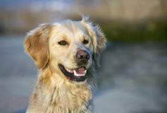 Cute golden retriever Royalty Free Stock Images