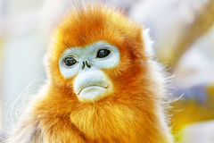 Cute golden Snub-Nosed Monkey in his natural habitat of wildlif stock images