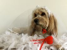 Cute Golden Spaniel crossed Maltese poodle dressed up in wedding oufit. A close up view of a Golden Spaniel crossed Maltese poodle dressed up in a wedding Stock Photos