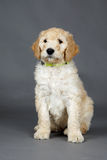 Cute goldendoodle pup Royalty Free Stock Photography