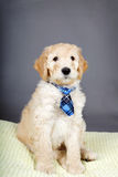 Cute goldendoodle pup with tie Royalty Free Stock Images