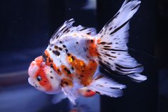 A cute goldfish in water tank royalty free stock photography