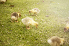 Cute goose. Cute little goose on the grass Royalty Free Stock Photography
