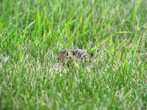 Cute gopher hides in grass Royalty Free Stock Photography