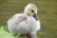 Cute Gosling Royalty Free Stock Image