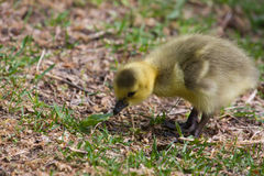 Cute Gosling Eating Grass Stock Photos