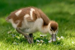 Cute gosling on fresh meadow. Fluffy young Canada goose enjoying fresh grass and daisies royalty free stock photos