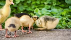Cute gosling in green grass. Cute domestic gosling and duckling walking in green grass outdoor stock video