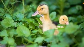 Cute gosling in green grass. Cute domestic duckling walking in green grass outdoor stock video footage