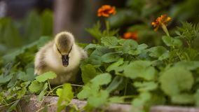 Cute gosling in green grass stock video