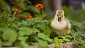 Cute gosling in green grass. Cute domestic gosling walking in green grass outdoor stock video