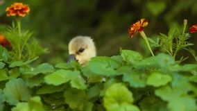 Cute gosling in green grass. Cute domestic gosling walking in green grass outdoor stock footage
