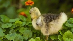 Cute gosling in green grass. Cute domestic gosling walking in green grass outdoor stock video footage