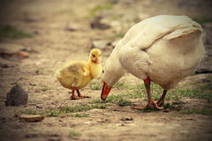 Cute gosling. With its mother on rural road Stock Photography