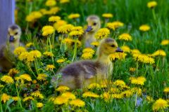 Cute Gosling Trio Royalty Free Stock Images