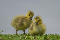 Cute goslings stock images