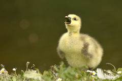 Cute duckling Stock Images