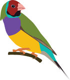Cute Gouldian finch vector. Cute colorful Gouldian finch vector, java sparrow Stock Images