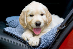 Cute GR Golden Retriever puppy on back seat of car Stock Photos