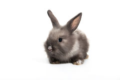 Cute Gray  Baby rabbit sitting on white background. Funny White French Lop cute rabbit looking at the camera,  Oryctolagus cuniculus,  Easter Bunny Royalty Free Stock Image