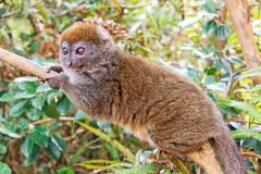 Cute gray bamboo lemur Royalty Free Stock Image