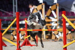 Cute gray and black border collie jumping over the barrier Royalty Free Stock Image