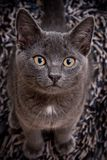 Cute gray cat Stock Images