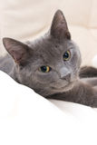 Cute Gray Cat Royalty Free Stock Photo