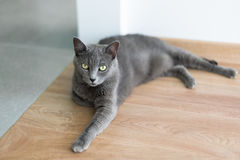 Cute gray cat laying stretched out on the floor. Portrait of elegant Russian Blue Cat. Royalty Free Stock Images