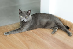 Cute gray cat laying stretched out on the floor. Portrait of elegant Russian Blue Cat. Royalty Free Stock Photography