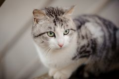Cute gray and white cat with the light green eyes sitting on the wooden board and looking away. Cute gray cat with the light green eyes sitting on the wooden royalty free stock photos
