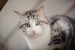 Cute gray and white cat with the light green eyes sitting on the wooden board and looking at camera. Cute gray cat with the light green eyes sitting on the royalty free stock photography