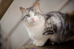 Cute gray and white cat with the light green eyes sitting on the wooden board and looking up. Cute gray cat with the light green eyes sitting on the wooden board royalty free stock photography