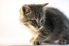Cute gray cat looking right. royalty free stock image