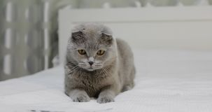 A cute gray cat is playing on the bed and hunting after the ribbon. Scottish Fold breed stock video