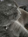Gray cat, profile view. Cute gray cat, profile view royalty free stock photo