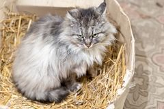 Cute gray cat sits in a cardboard box with hay.  royalty free stock photo
