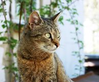 Attentive look of a cute gray cat. Cute gray cat sits near the house and conducts attentive observation royalty free stock photos