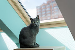 Cute gray cat sitting near the window. Portrait of elegant Russian Blue Cat. Stock Photography